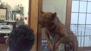 ものまねをしてくれる琉球犬です。 多分面白いと思いますwww.