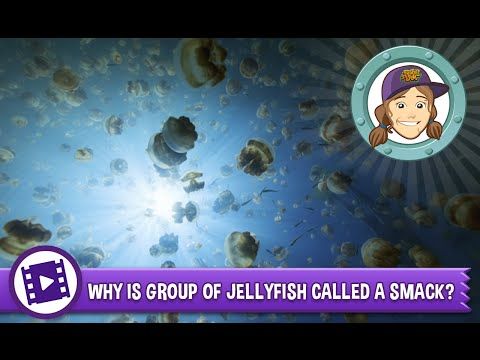 Animal Jam - Ask Tierney: Why is a group of jellyfish called a smack?