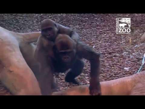 2 Year Old Gorilla Elle Bonding with Larger Group - Cincinnati Zoo