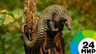 В Африке сняли видео с одним из самых скрытных в мире животных - МИР 24