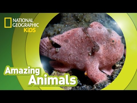 Frogfish   Amazing Animals