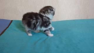 Продажа шотландских котят. Котик Остин исследователь.