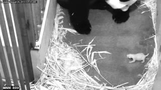 National Zoo Panda Cub Update: Day 6