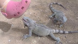 Wild Iguanas begging tourists for apples