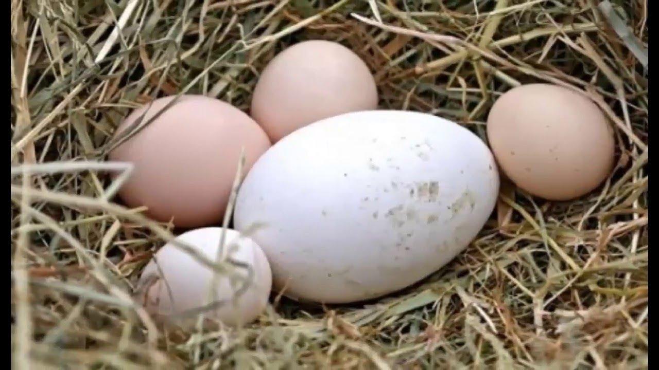 Ăn trứng ngỗng có tốt hơn trứng gà