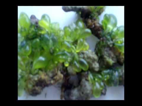 marine algae   tamil nadu