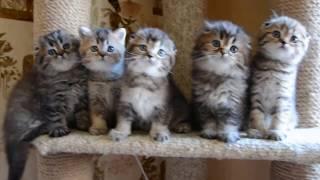 Шотландские вислоухие  котята питомник Melody Soul купить