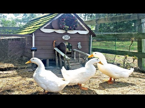 Home Business Ideas - Baby Duck and Duck Farm Business Ideas with Low Investment and High Profit