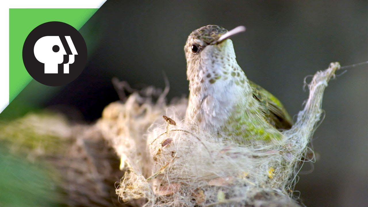 Hummingbird Builds Tiny Nest