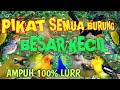 Suara Burung Ribut-kicau Lantang Pedas Vol Full Mp3