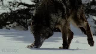 Стая голодных волков окружила мальчика, но то что сделал один из них удивило всех
