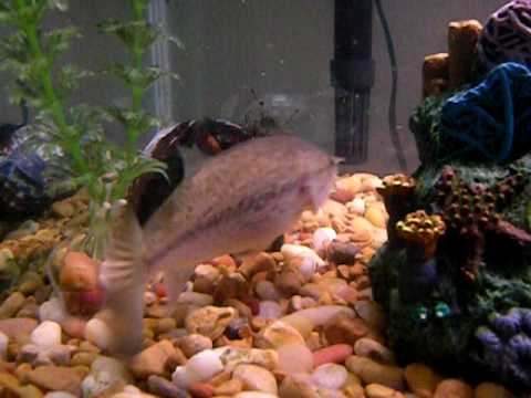 Baby bass in fish tank eating bluegill youtube for Bluegill fish tank