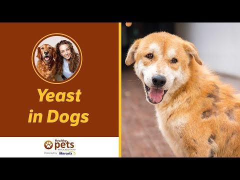 Dr. Karen Becker Discusses Yeast in Dogs
