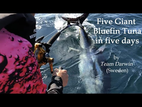 Five Giant Bluefin Tuna In Five Days - In Scandinavian Waters