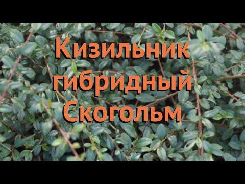 Кизильник гибридный Скогольм (skogholm) 🌿 обзор: как сажать, саженцы кизильника Скогольм