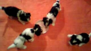 Puppies Biewer Yorkshire Terrier