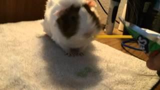 Guinea Pig Drinks Kool-aid