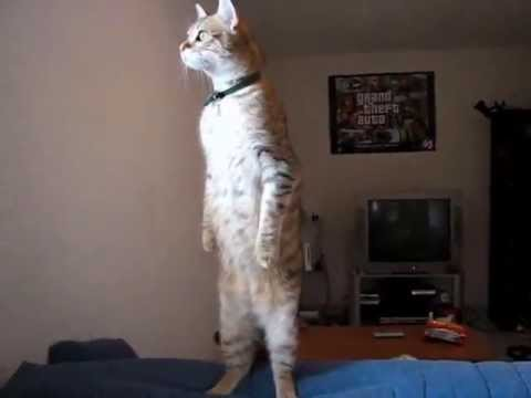 Standing Cat Youtube