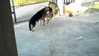German Shepherds Fight To The Death (keino & Kai Vs Pranser).mp4