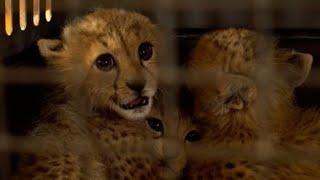 De l'Afrique au Golfe persique, sur la route du trafic des animaux sauvages
