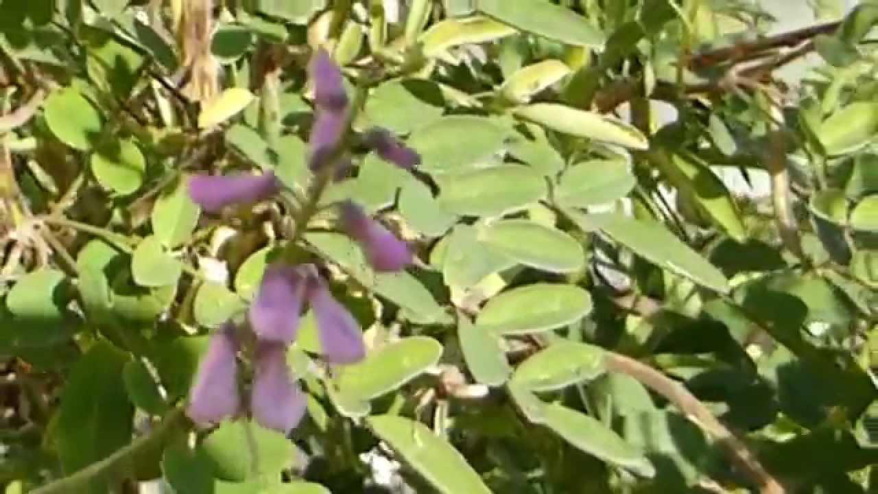 Indigofera Dye Plant Indigo Litunarjurt Belgjurt