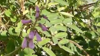 Indigofera  - Dye plant -  Indigo  - Litunarjurt -  Belgjurt - Garðskálaplanta