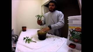 Transplant Jade Plant