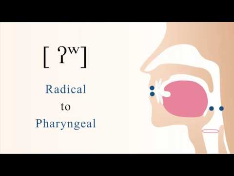 [ ʔʷ ] unvoiced unaspirated labialized radical pharyngeal stop