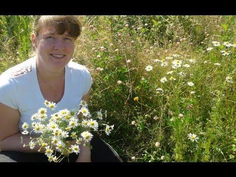 Ромашка лекарственная   Лекарственные травы и растения
