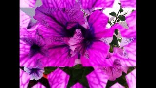 Как вырастить сортовые петуньи и собрать их семена от Нади.