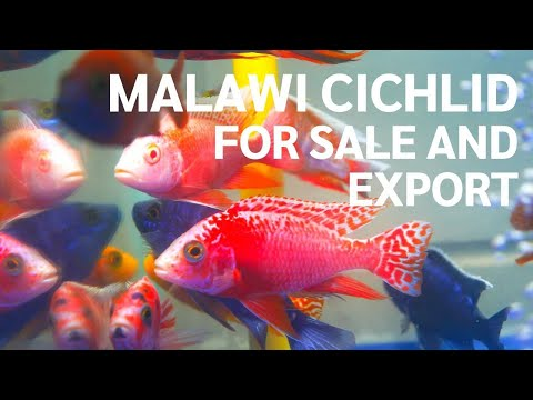 Malawi cichlids for sale and export from breeding farm in Thailand