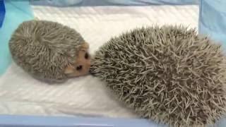 Ежик в гостинице Лаки/ The hedgehog at the hotel Lucky