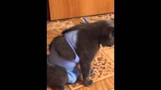●Стерилизация кошки (овариогистерэктомия). Сутки спустя, выход из наркоза.(Мы кастрировали свою кошечку 20-го декабря 2014г. Операция прошла успешно, ветеринар была у нас замечательная,..., 2015-03-18T12:17:59.000Z)