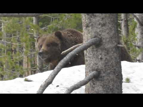 Grizzly Bear Encounter at Yellowstone