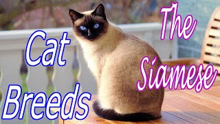 CAT BREEDS (The Siamese) Identify Top 10 Longest Living Cats & Kittens info