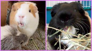 Best guinea pig noises of the wheek! (2021 Week 30)