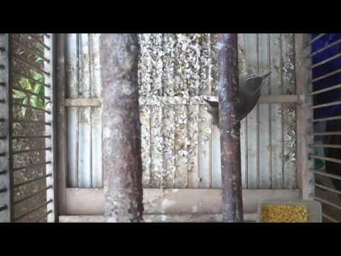CIBLEK SAWAH /PRENJAK KLIK GACOR WONOSOBO Mp3