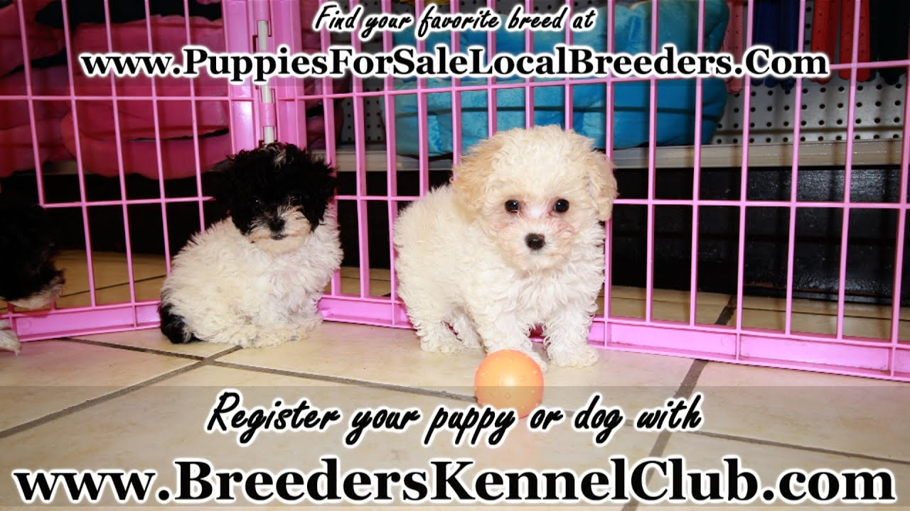 Toy Poodle, Puppies For Sale, In Greenville, County, South Carolina, SC,  19Breeders, Summerville