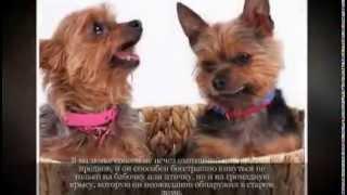 Маленькие породы собак ЙОРКШИРСКИЙ ТЕРЬЕР