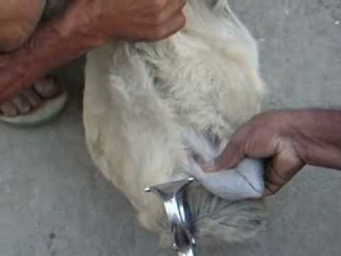 Dr Jibachha Sah Castration  technique in goat
