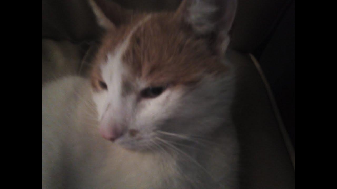 Fehér lapos féreg. melybelsoatalakulas.hu - A macska leggyakoribb bélférgei