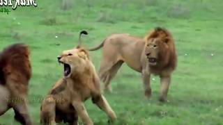 ライオンvsハイエナ永遠バトル!Lion vs Hyena!#1.