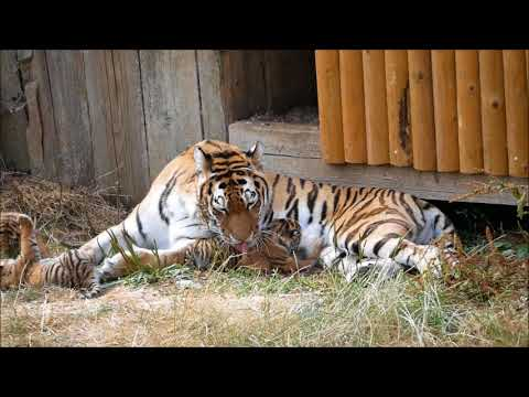 Amur tiger with four 3 week old cubs at Whipsnade July 18th 2018