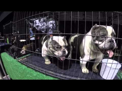IBR-International Bully Registry 2016 Micro Bully Exotic Bully