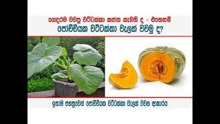 ගෙදර පෝච්චියක වට්ටක්කා වැලක් වවමු ද - Plant pumpkin creeper in a pot