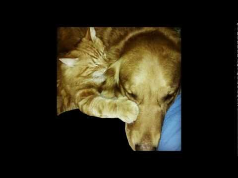 adorable polydactyl orange tabby cat play fights with his