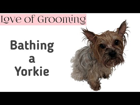 How to Give a Yorkshire Terrier a Bath