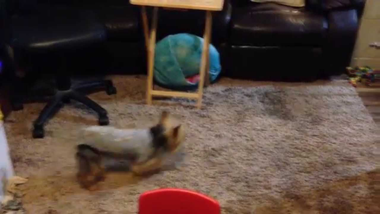 Tiger Male Yorkie Dog While Female Dog In Heat Youtube