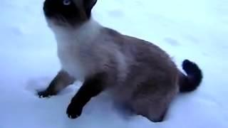 Сиамский кот не знает снега