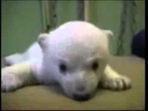 Orsetto Knut